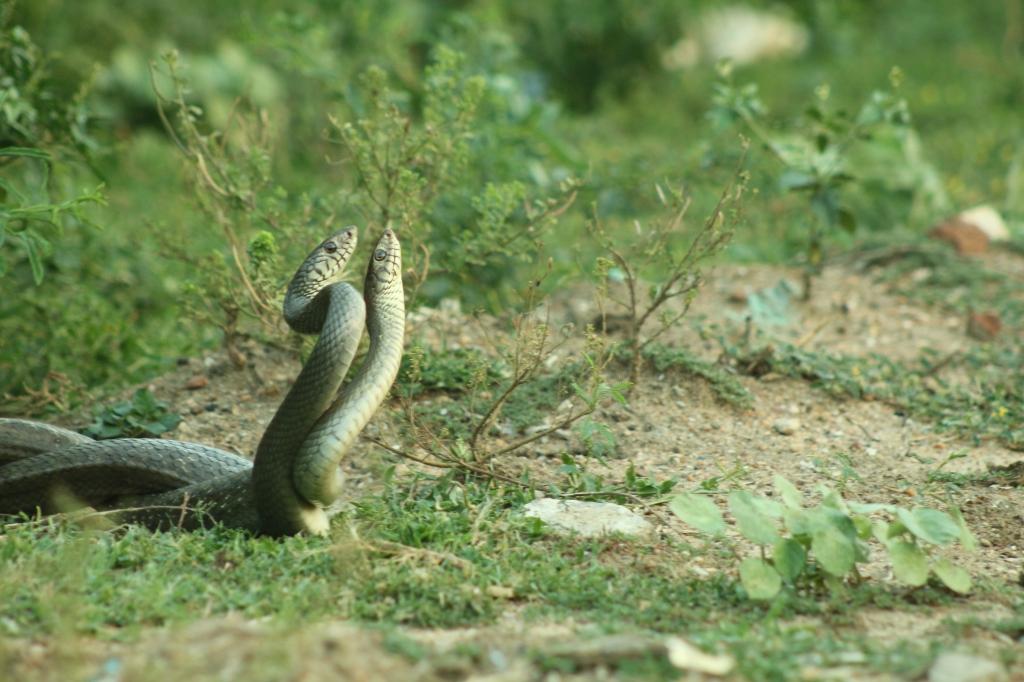 snake of india