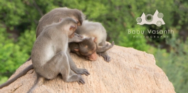 helping monkeys in in thiruparankundram hill