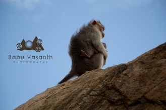 Monkey alone in thiruparankundram hill