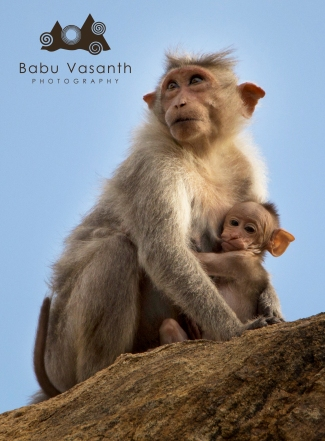 monkey alone with her child in in thiruparankundram hill