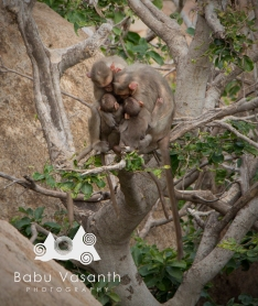 monkey family sleeping in tree in in thiruparankundram hill