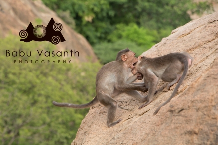 Monkey play in in thiruparankundram hill