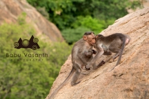 monkey playing in in thiruparankundram hill